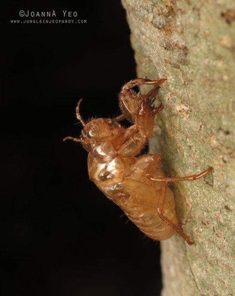 Cicada-exoskeleton-singapore-joanna-yeo