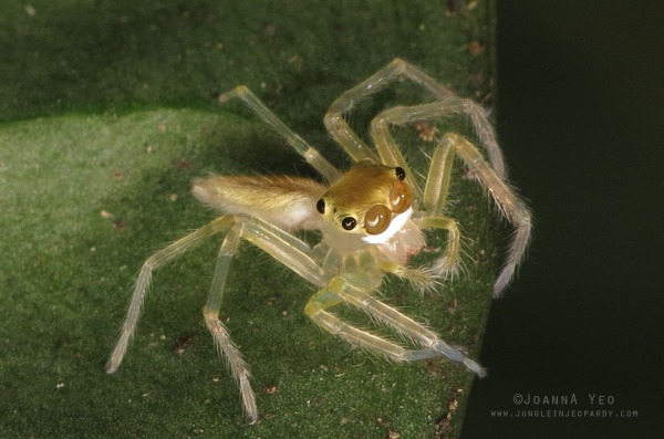 Double tufted jade jumper juvenile Epeus edwardsi