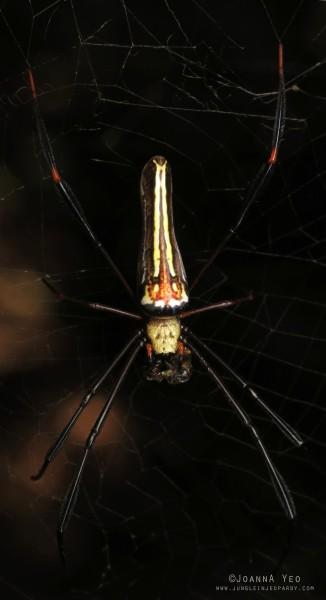 Giant Golden Web Spider (Nephila pilipes) - dorsal - joanna yeo