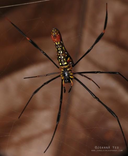 Giant Golden Web Spider (Nephila pilipes) - ventral - joanna yeo