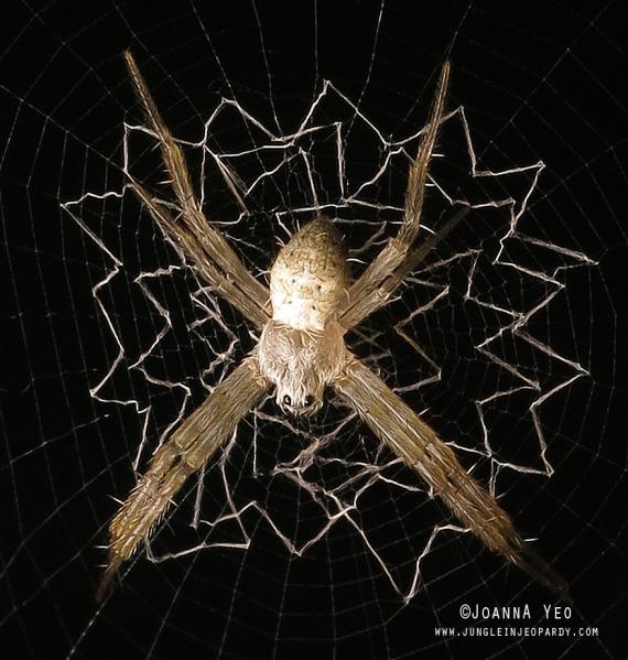 saint-andrew-spider-juvenile