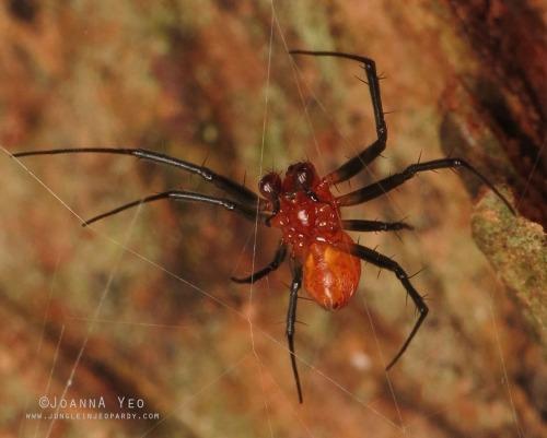 Malabar Hermit Spider (Nephilengys malabarensis) - Joanna Yeo