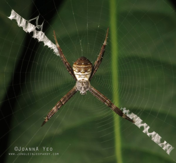 St. Andrew's Cross Spider (Argiope sp.)