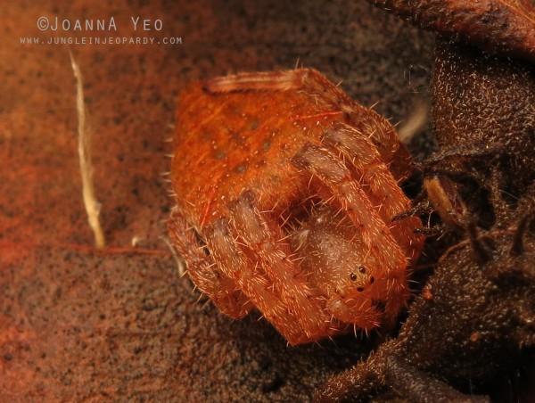 Laglaise's Garden Spider (Eriovixia laglaizei) - joanna yeo