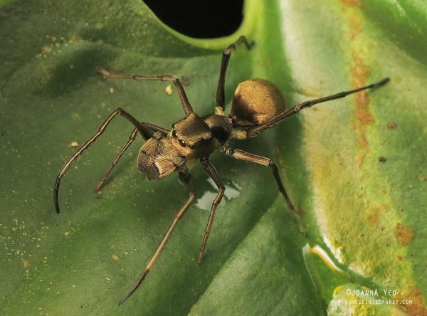 myrmarachne maxillosa ant-mimicking spider